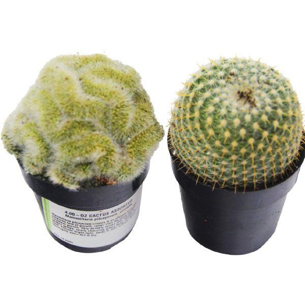 2-Pack Cactus Plant