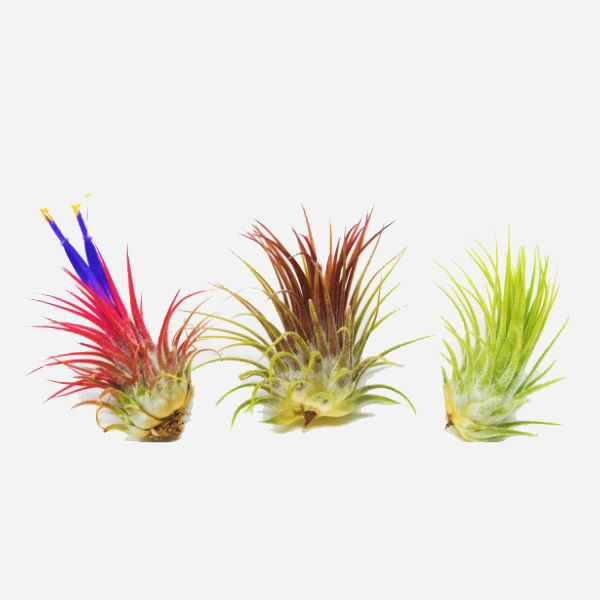 3 Ionantha Guatemala Air Plants INCLUDES: 3 Tillandsia Ionantha Air Plants 2-4 Inches big and 1 Care Guide